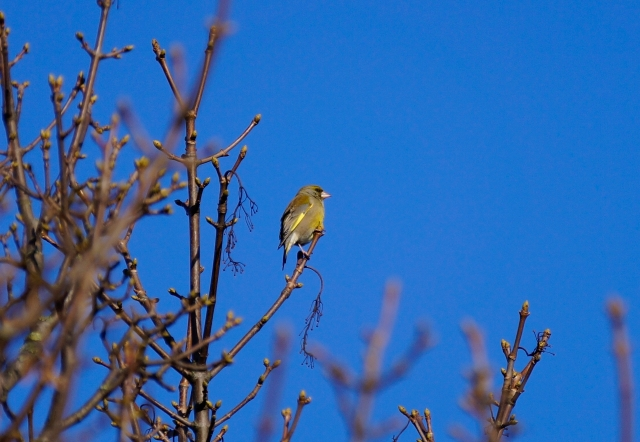 Local Greenfinch getting into breeding mode